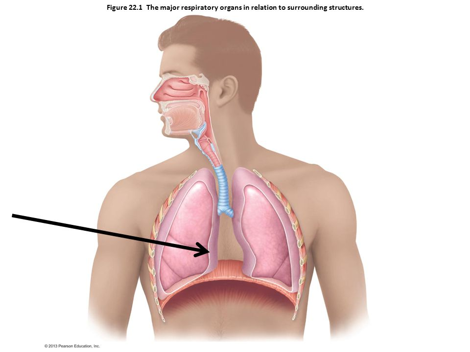 Figure 22.1 The major respiratory organs in relation to surrounding structures.