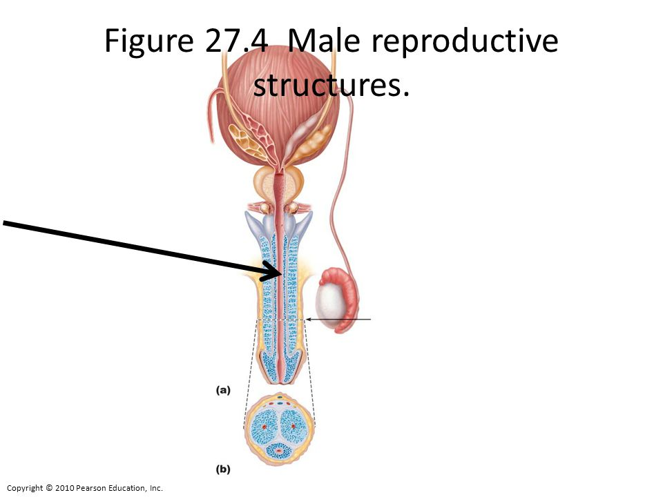 Figure 27.4 Male reproductive structures.