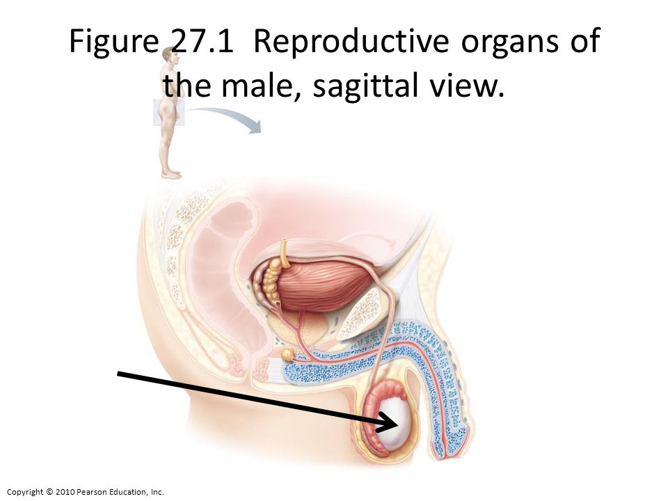 Figure 27.1 Reproductive organs of the male, sagittal view.