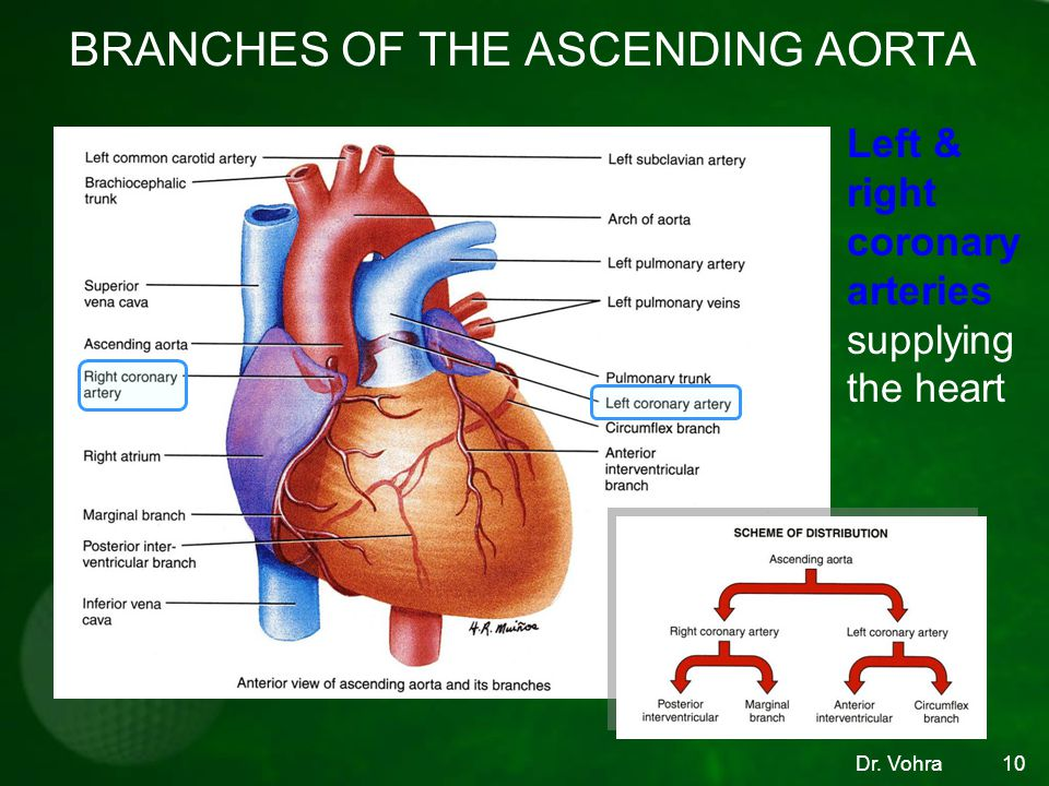 BRANCHES OF THE ASCENDING AORTA