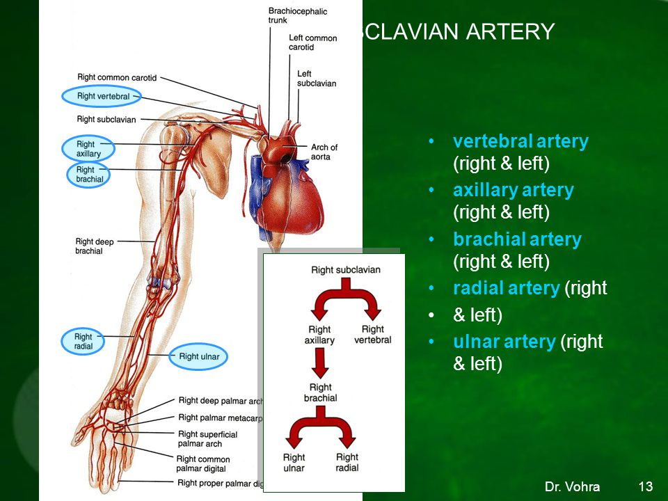 BRANCHES OF THE SUBCLAVIAN ARTERY