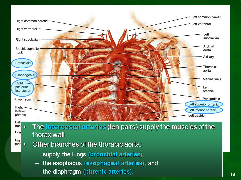 Arterial Branches of the Thoracic Aorta
