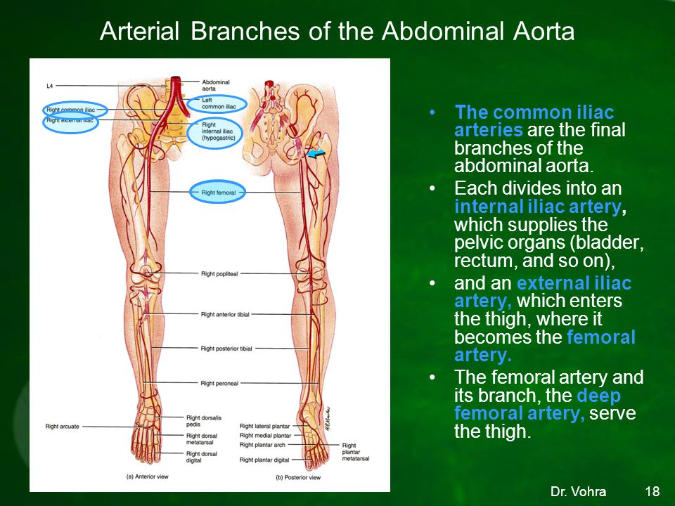 Arterial Branches of the Abdominal Aorta