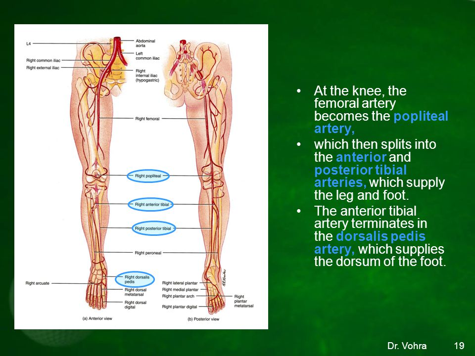At the knee, the femoral artery becomes the popliteal artery,