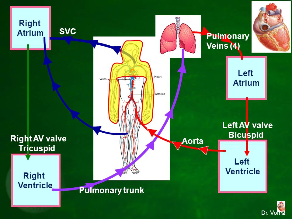 Right Atrium SVC Pulmonary Veins (4) Left Atrium IVC Left AV valve