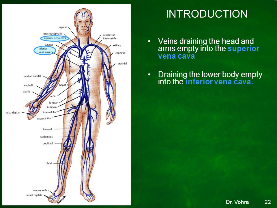 INTRODUCTION Veins draining the head and arms empty into the superior vena cava. Draining the lower body empty into the inferior vena cava.