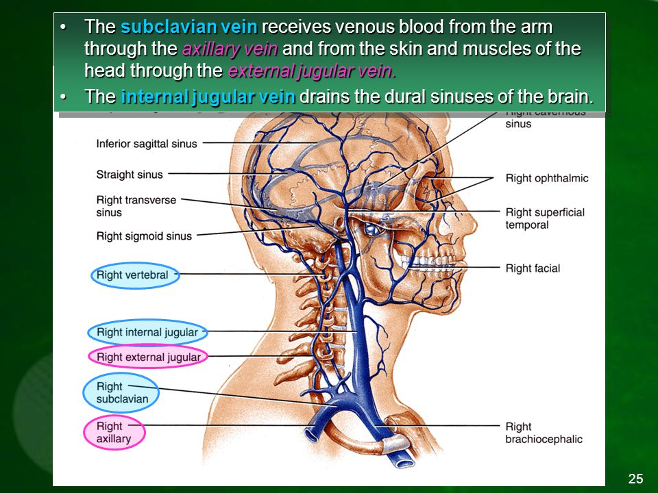 The internal jugular vein drains the dural sinuses of the brain.