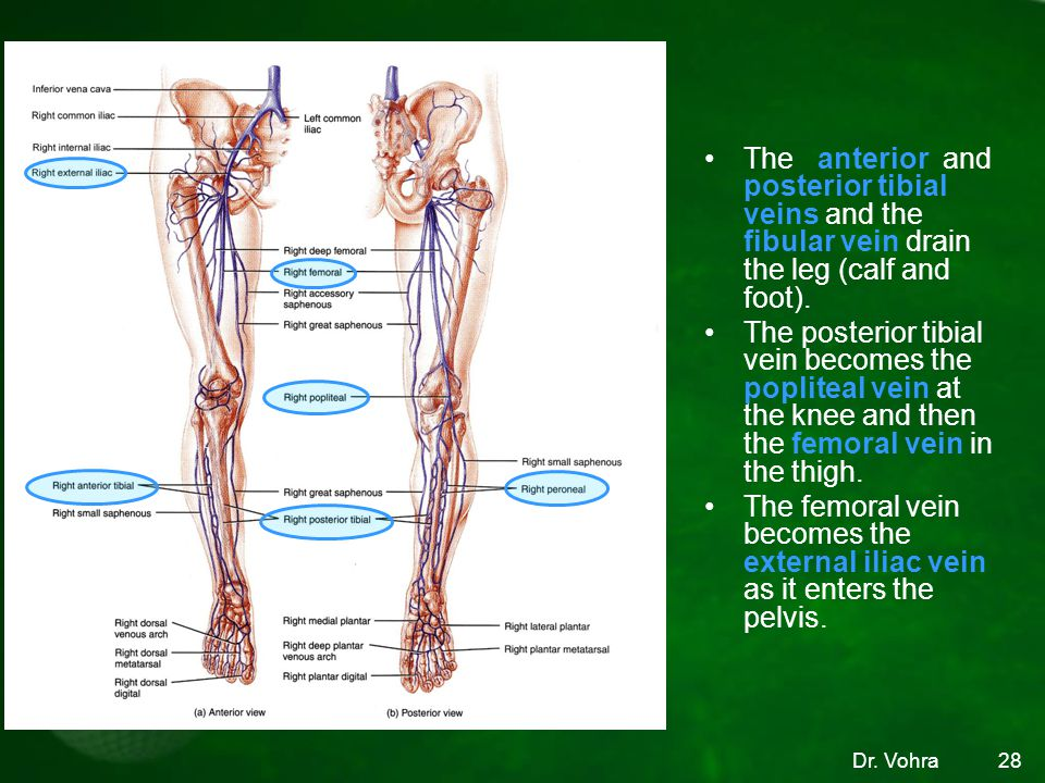 The anterior and posterior tibial veins and the fibular vein drain the leg (calf and foot).