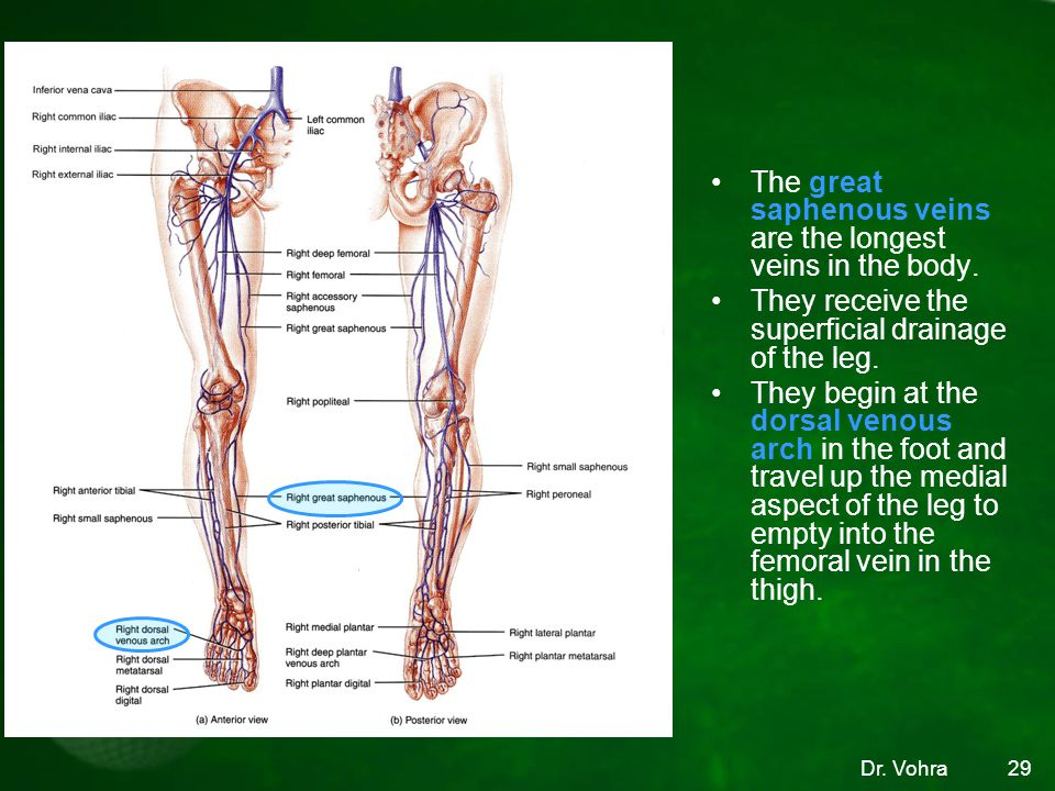 The great saphenous veins are the longest veins in the body.