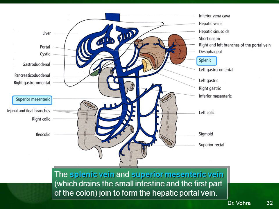 The splenic vein and superior mesenteric vein (which drains the small intestine and the first part of the colon) join to form the hepatic portal vein.