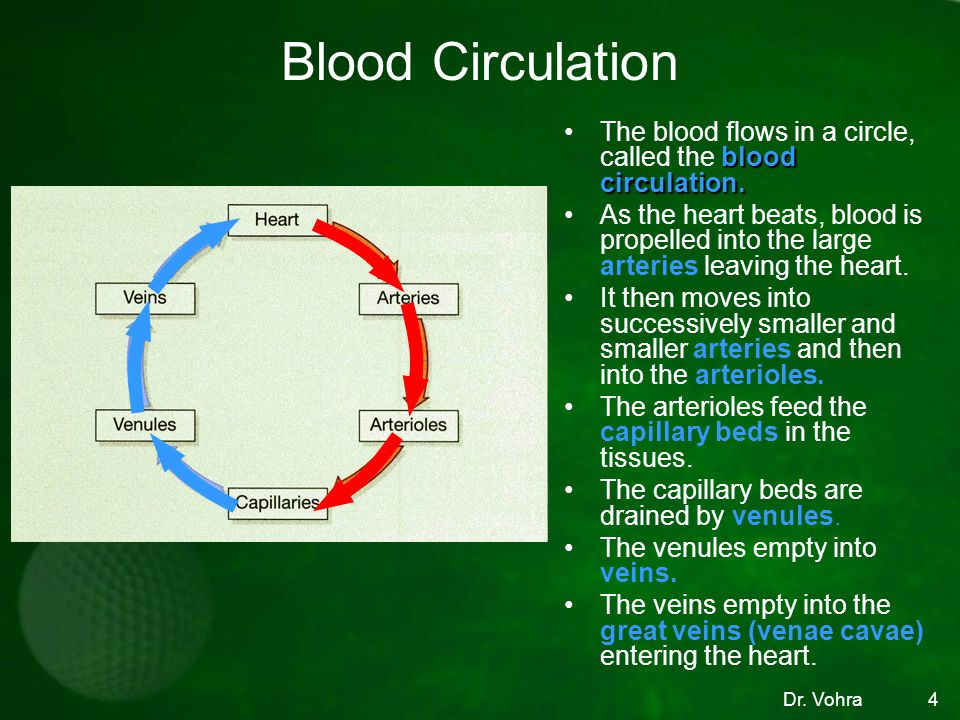 Blood Circulation The blood flows in a circle, called the blood circulation.