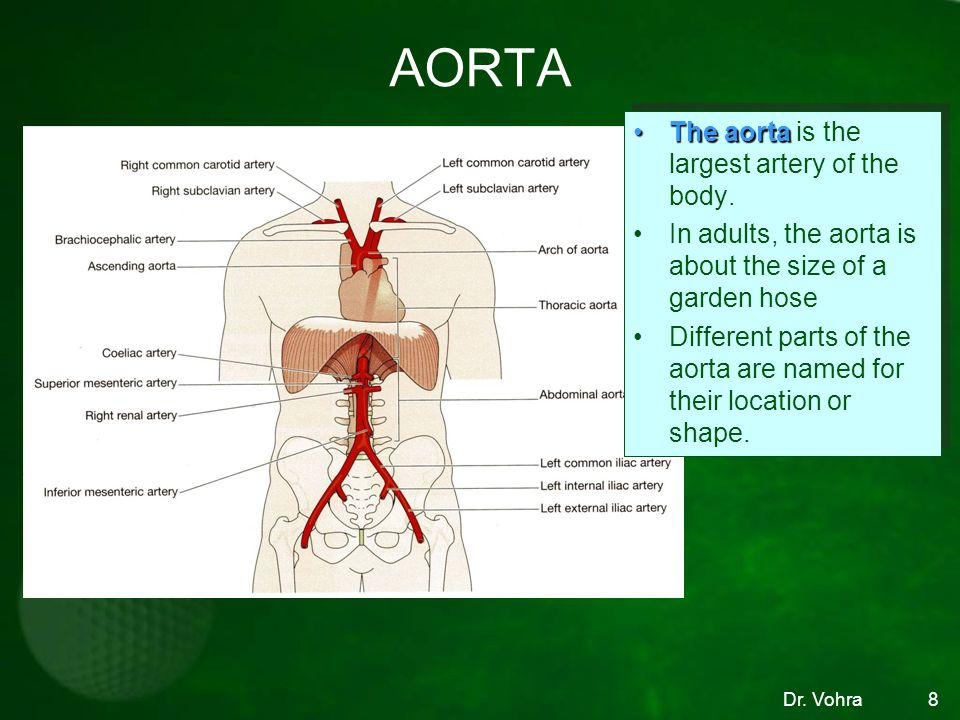 AORTA The aorta is the largest artery of the body.