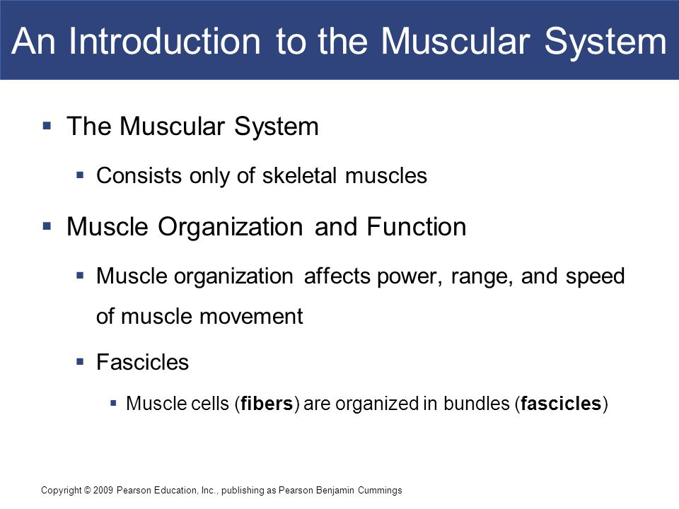 An Introduction to the Muscular System
