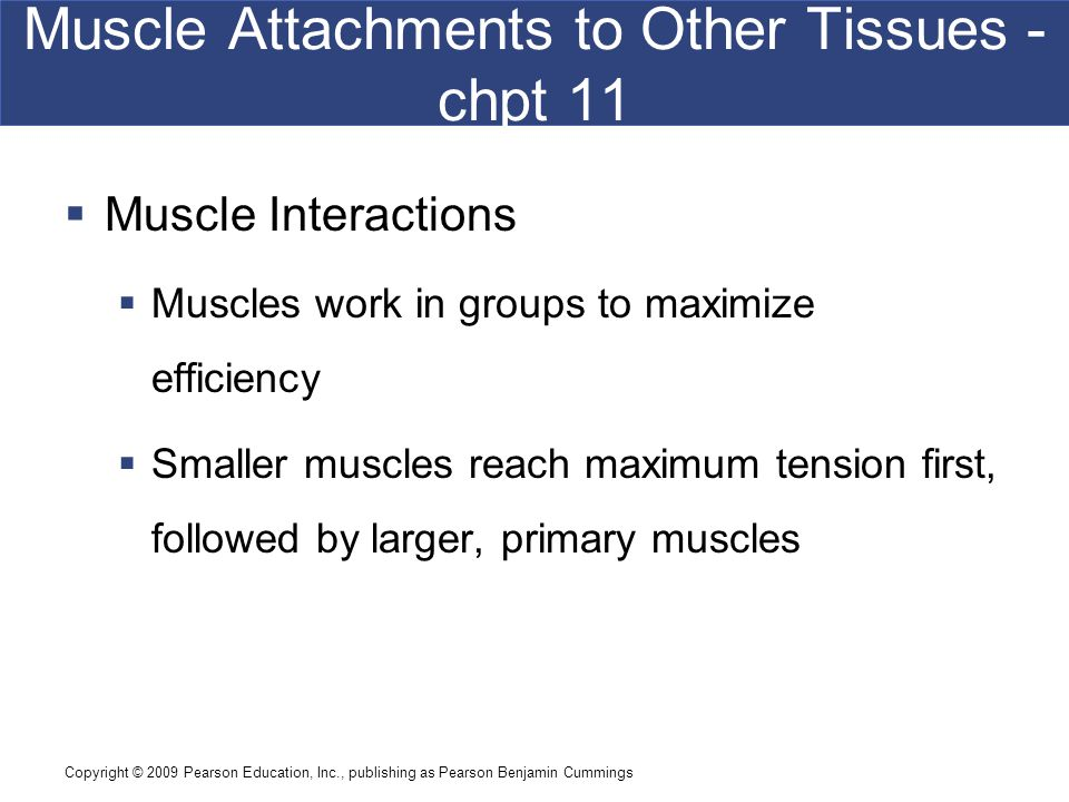 Muscle Attachments to Other Tissues - chpt 11
