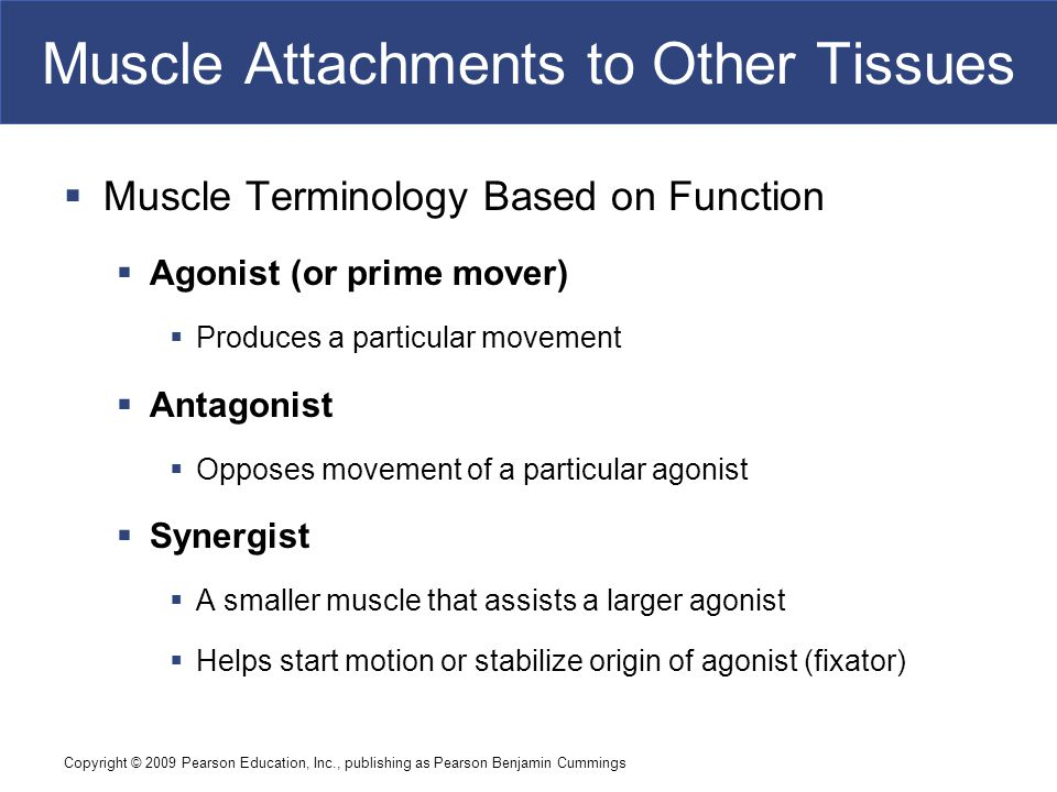 Muscle Attachments to Other Tissues
