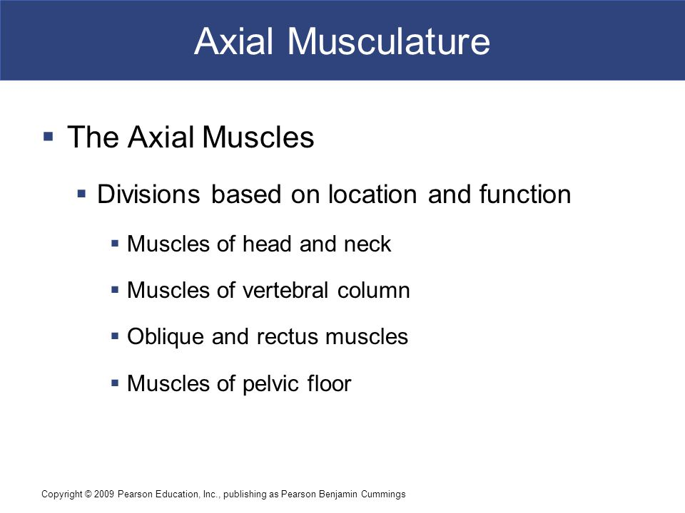 Axial Musculature The Axial Muscles