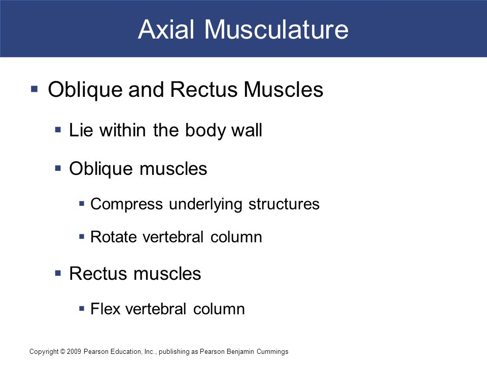 Axial Musculature Oblique and Rectus Muscles Lie within the body wall