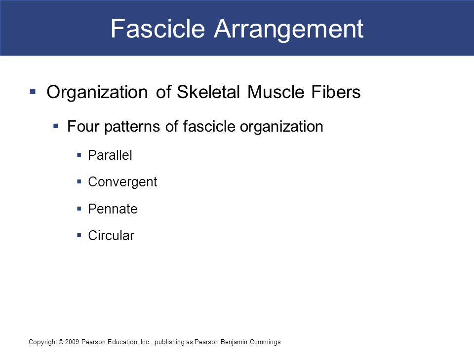 Fascicle Arrangement Organization of Skeletal Muscle Fibers