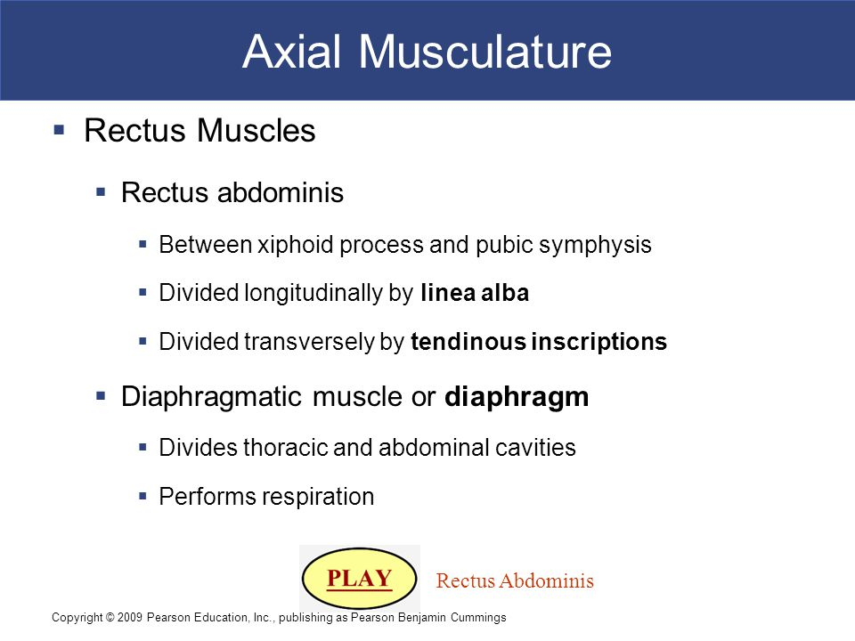 Axial Musculature Rectus Muscles Rectus abdominis