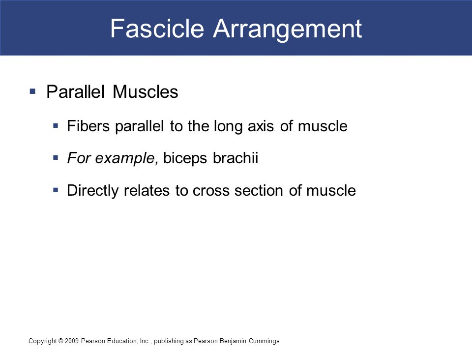Fascicle Arrangement Parallel Muscles