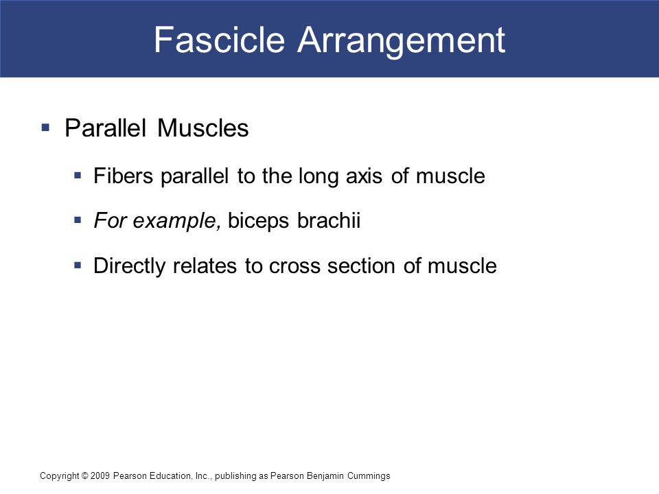 Fascicle Arrangement Parallel Muscles