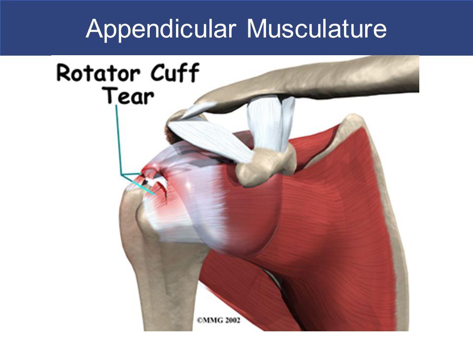 Appendicular Musculature