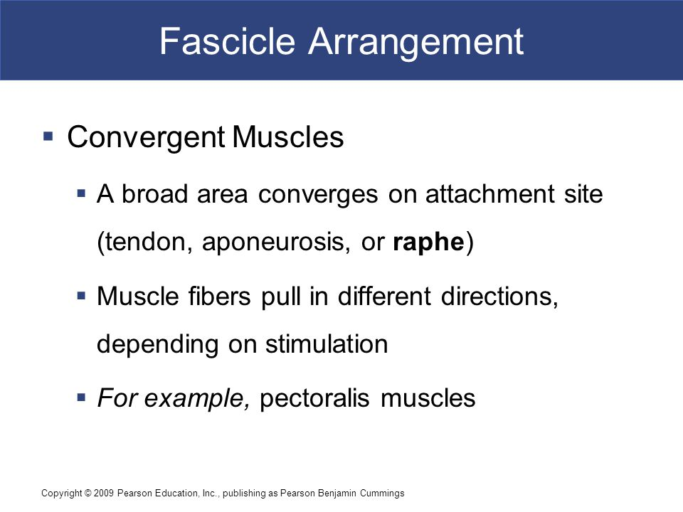 Fascicle Arrangement Convergent Muscles