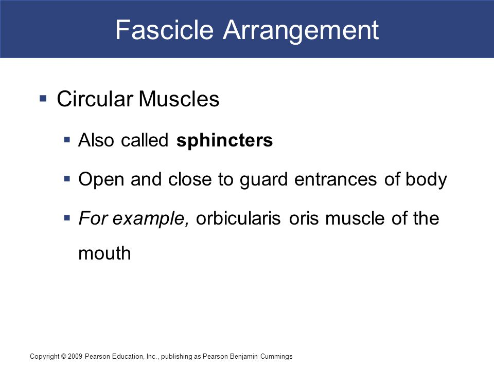 Fascicle Arrangement Circular Muscles Also called sphincters