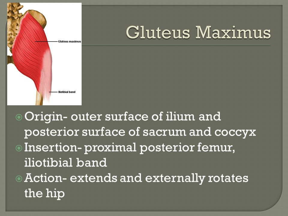 Gluteus Maximus Origin- outer surface of ilium and posterior surface of sacrum and coccyx. Insertion- proximal posterior femur, iliotibial band.