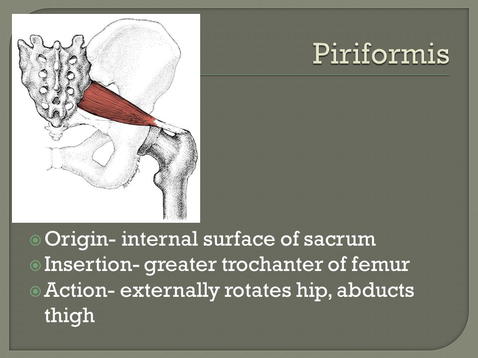 Piriformis Origin- internal surface of sacrum