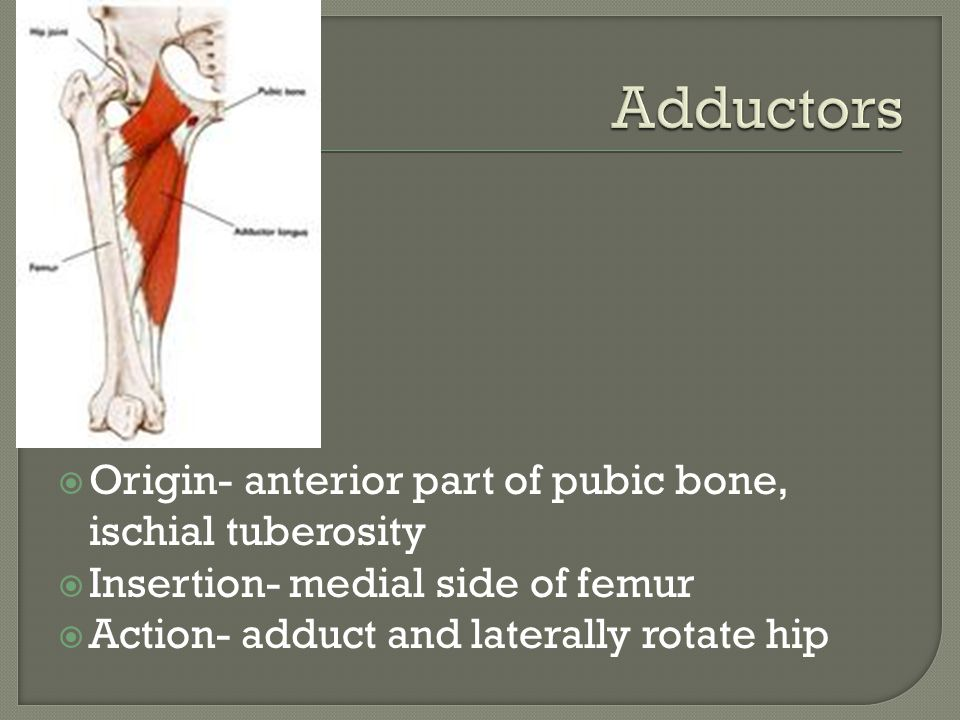 Adductors Origin- anterior part of pubic bone, ischial tuberosity