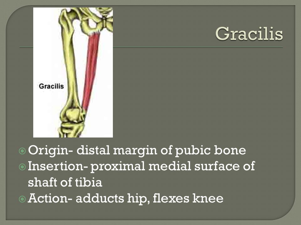Gracilis Origin- distal margin of pubic bone