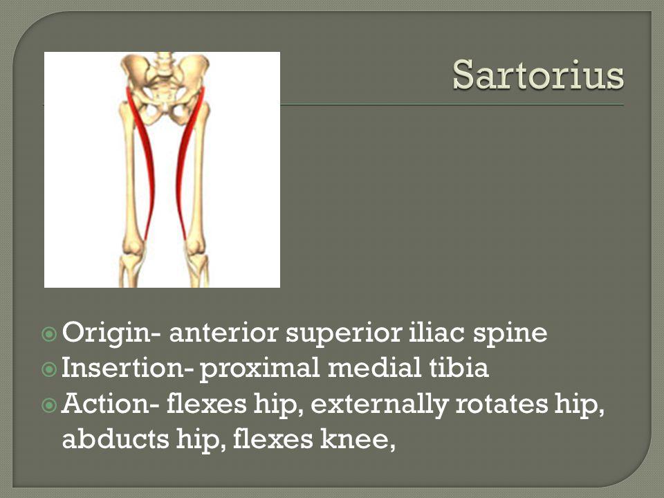 Sartorius Origin- anterior superior iliac spine