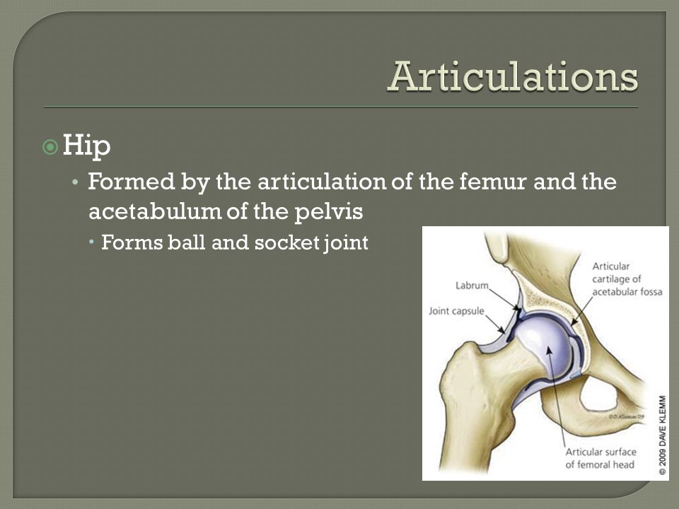 Articulations Hip. Formed by the articulation of the femur and the acetabulum of the pelvis.