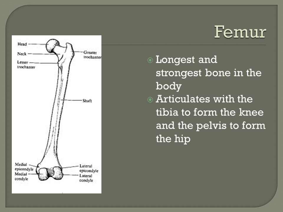 Femur Longest and strongest bone in the body