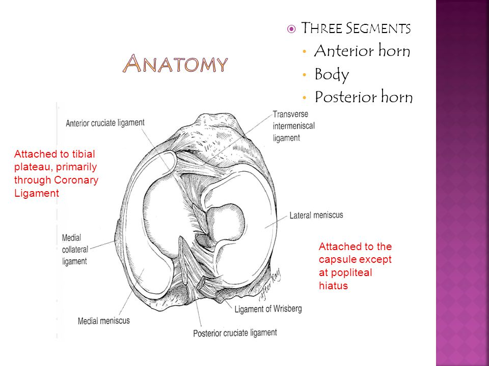 Anatomy Three Segments Anterior horn Body Posterior horn