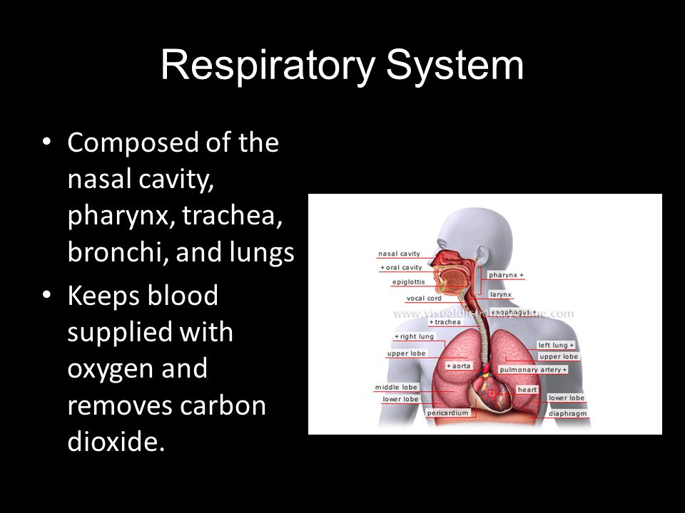 Respiratory System Composed of the nasal cavity, pharynx, trachea, bronchi, and lungs.