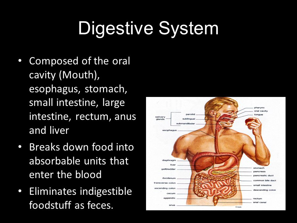 Digestive System Composed of the oral cavity (Mouth), esophagus, stomach, small intestine, large intestine, rectum, anus and liver.