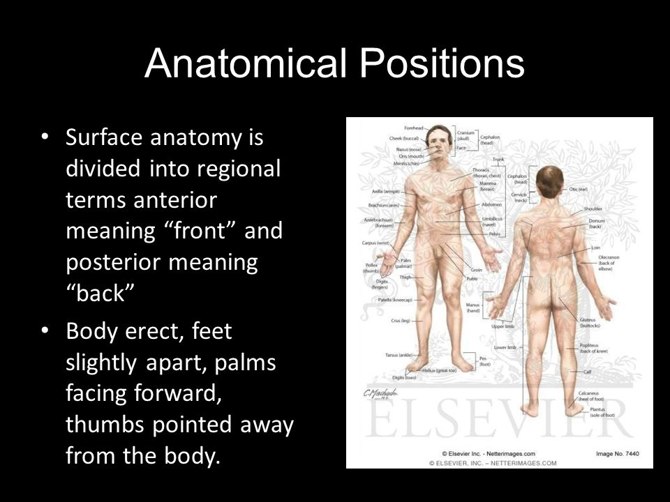Anatomical Positions Surface anatomy is divided into regional terms anterior meaning front and posterior meaning back