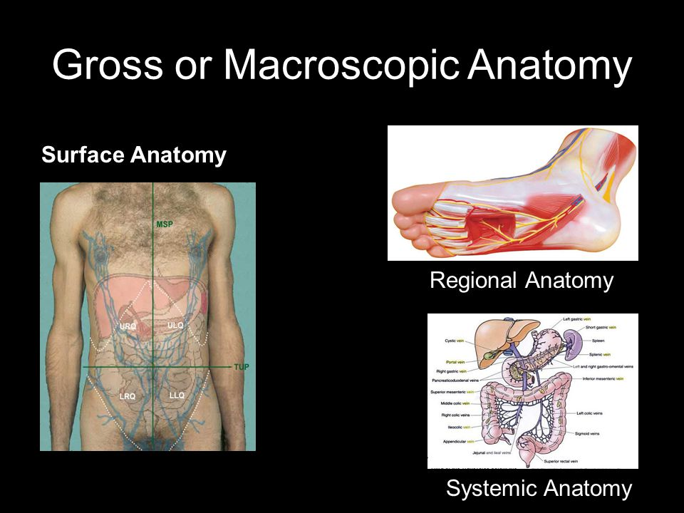 Gross or Macroscopic Anatomy