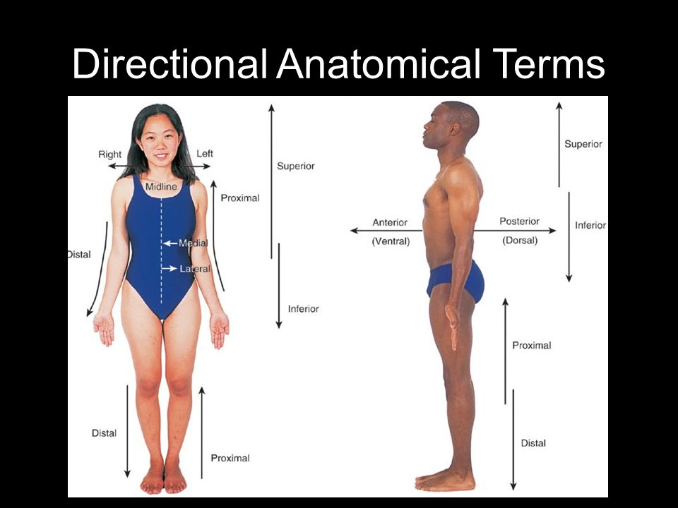 Directional Anatomical Terms