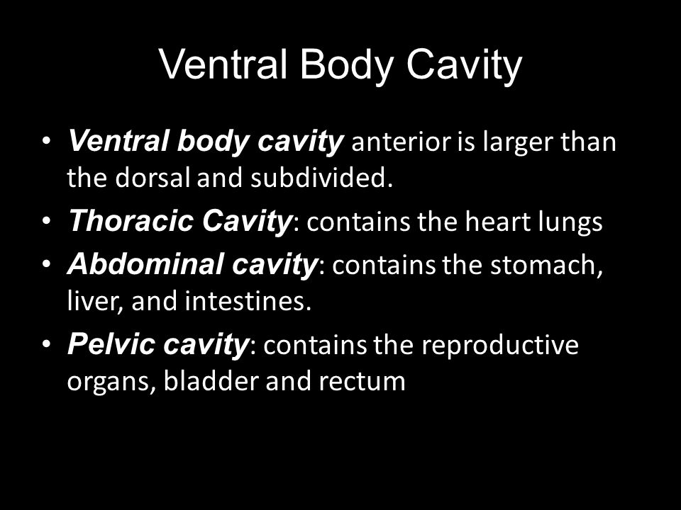 Ventral Body Cavity Ventral body cavity anterior is larger than the dorsal and subdivided. Thoracic Cavity: contains the heart lungs.