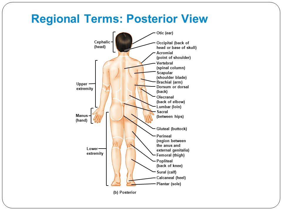 Regional Terms: Posterior View