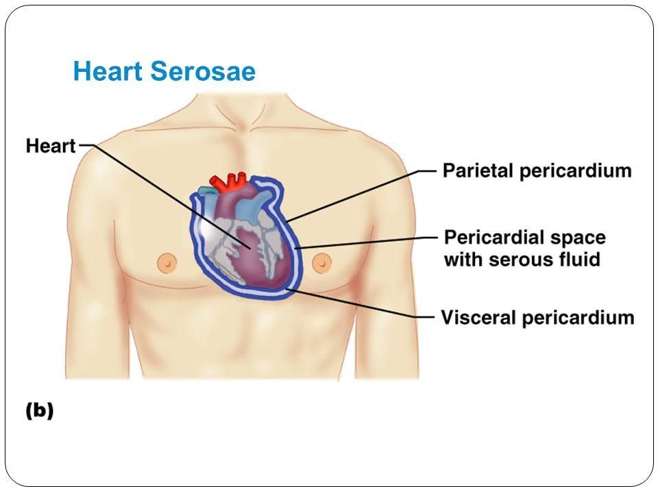 Heart Serosae