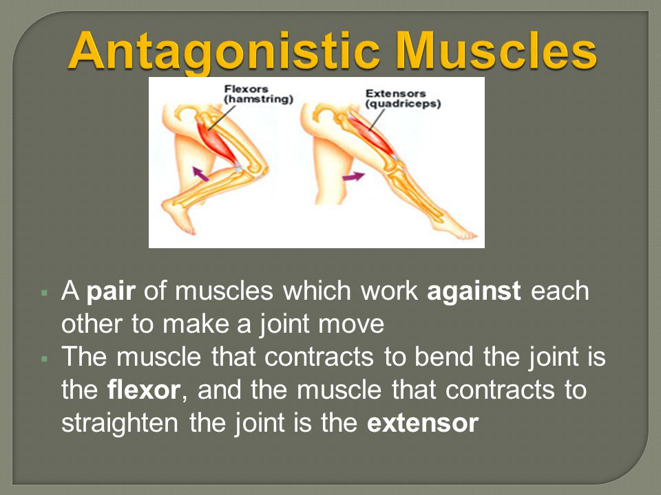 Antagonistic Muscles A pair of muscles which work against each other to make a joint move.
