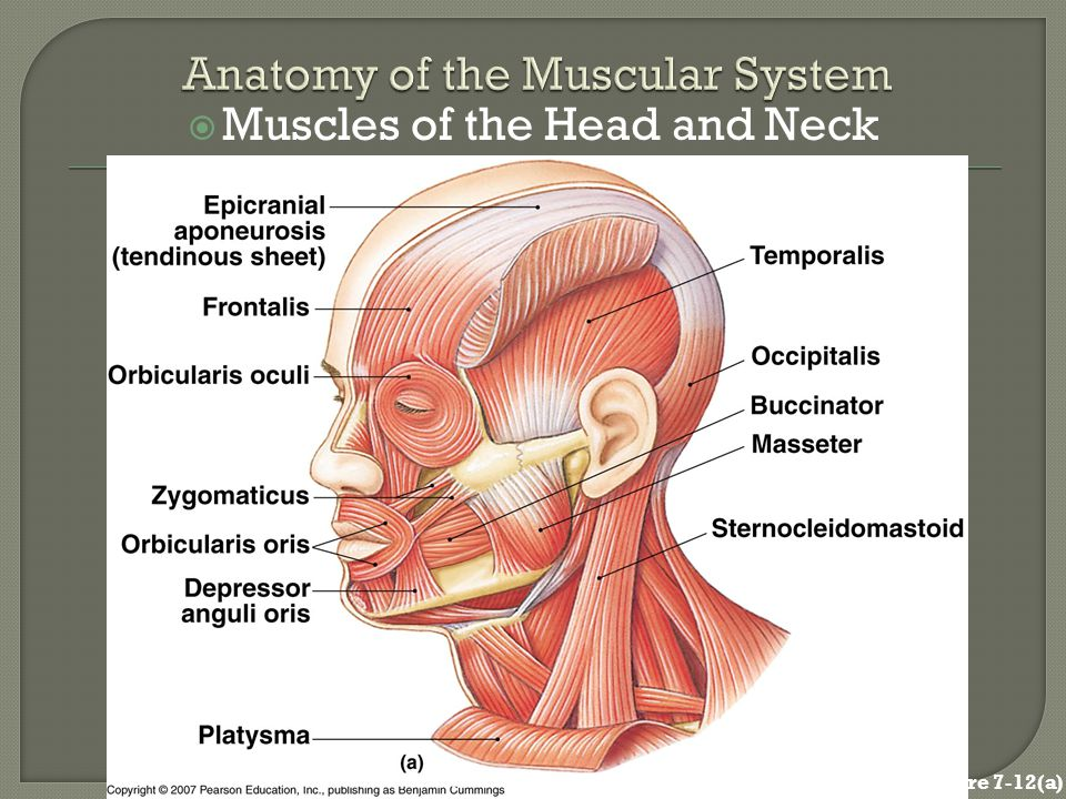 Anatomy head and neck ppt