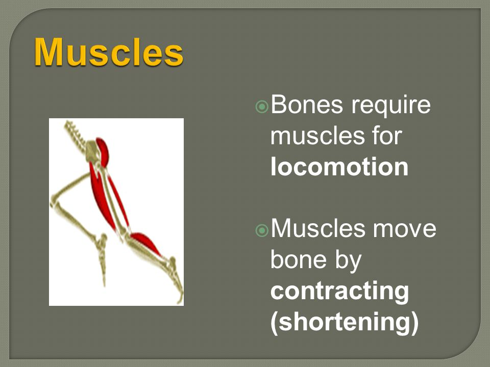 Muscles Bones require muscles for locomotion