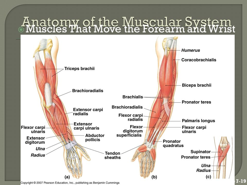 Anatomy of the Muscular System