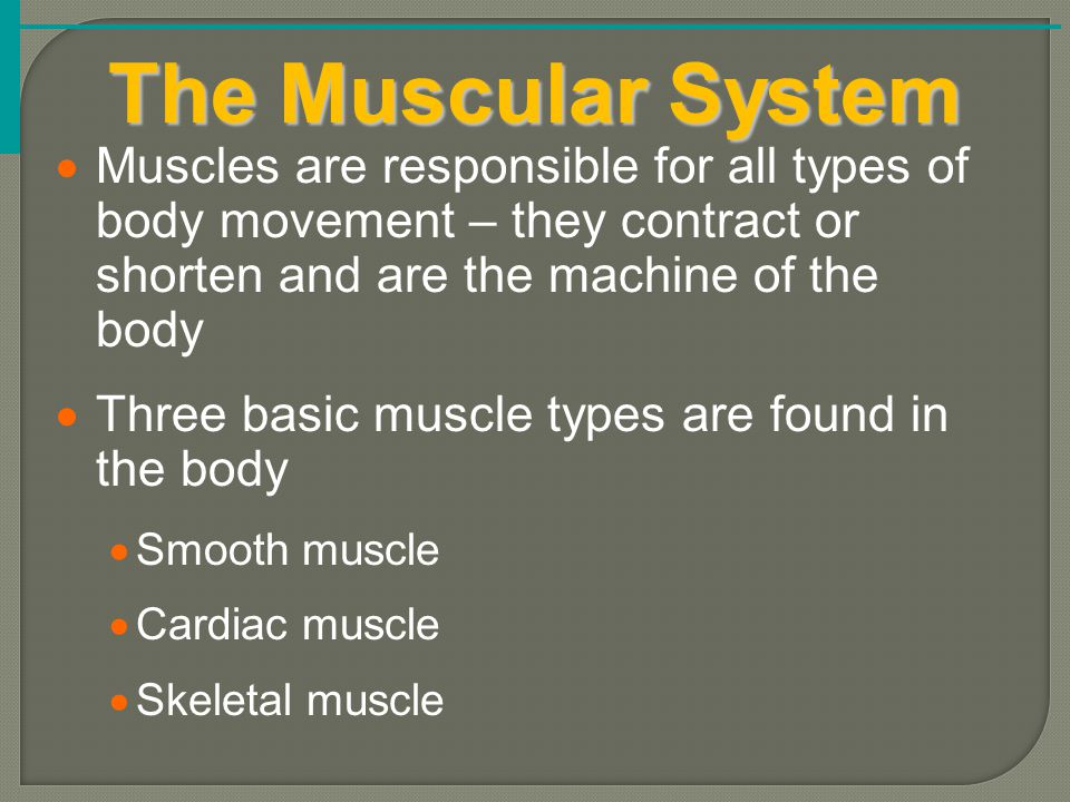 The Muscular System Muscles are responsible for all types of body movement – they contract or shorten and are the machine of the body.