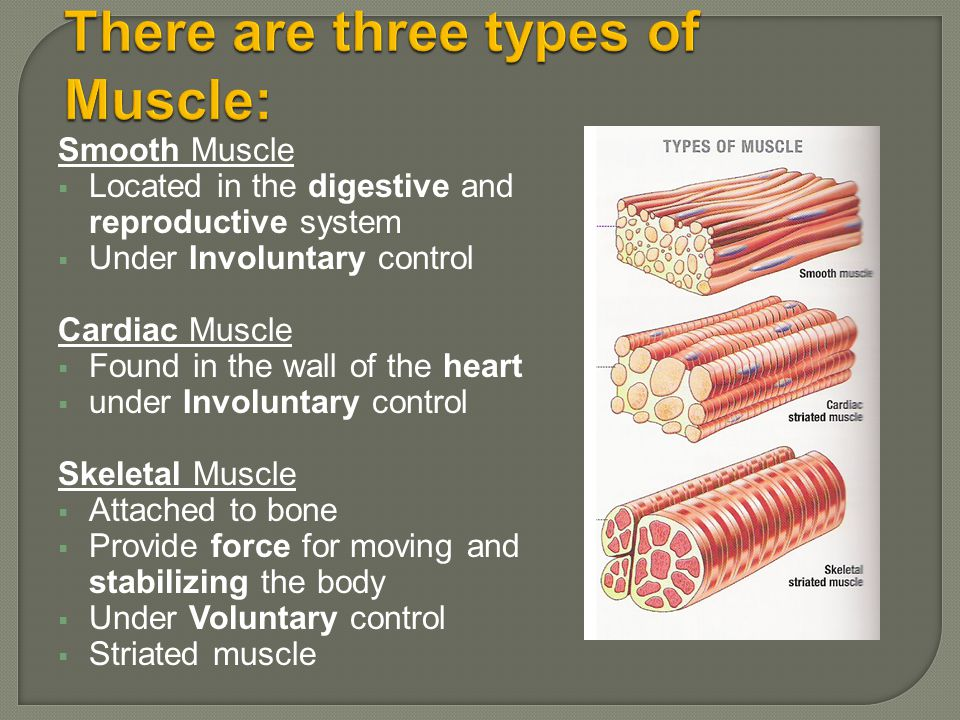 There are three types of Muscle: